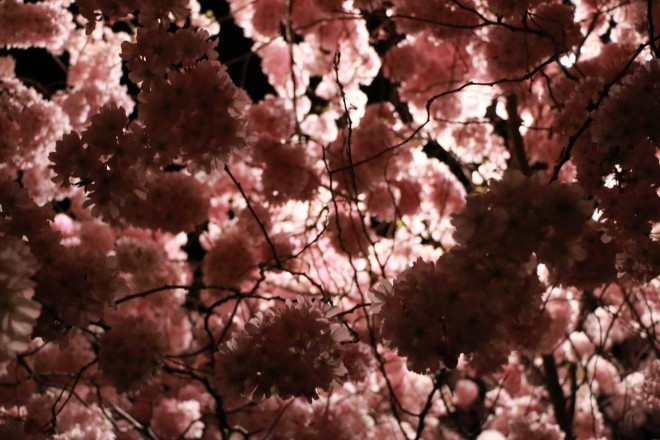 The Cherry Blossoms of Newark