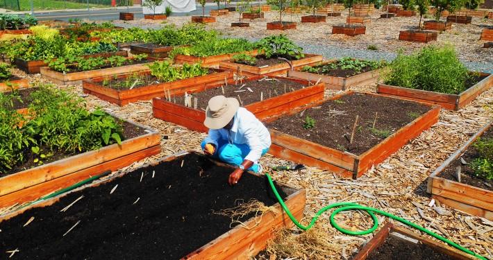 Hawthorne Ave community gardener64