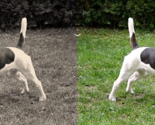 jack russel terrier then and now